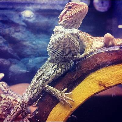 Dragon Photograph - Gangster-ass Bearded Dragons by Jayme Godwin