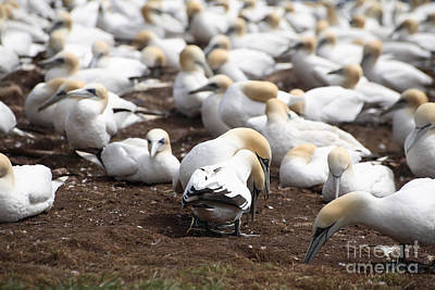 Quebec Fauna Photograph - Gannet Birds Showing Meeting Behavior by Ted Kinsman
