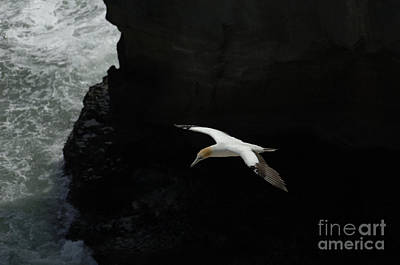 Photograph - Gannet New Zealand 4 by Bob Christopher