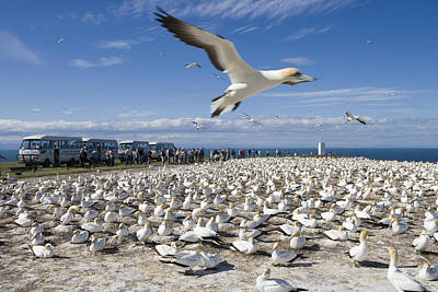 Hawkes Bay Photograph - Gannet Safari At Cape Kidnappers Gannet Colony by Holger Leue