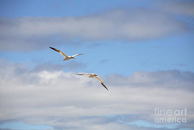 Quebec Fauna Photograph - Gannets In Flight by Ted Kinsman