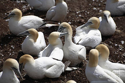 Quebec Fauna Photograph - Gannets Nape-biting by Ted Kinsman