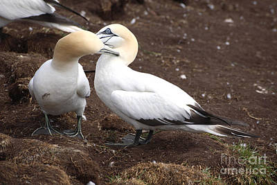 Quebec Fauna Photograph - Gannets Showing Mutual Preening Behavior by Ted Kinsman