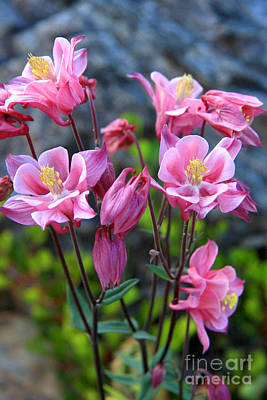 Photograph - Pink Columbine by Frank Townsley