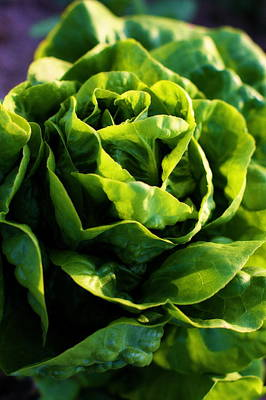Western Art - Garden Fresh Buttercrunch Lettuce by Angela Rath