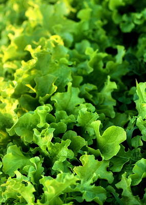Photograph - Garden Fresh Salad Bowl Lettuce by Angela Rath