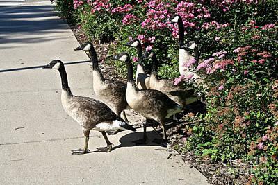Garden Geese Parade Art Print by Susan Herber
