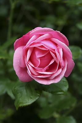 Y120817 Photograph - Garden Rose by Deirdre Snook