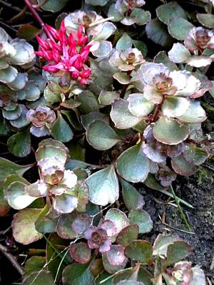 Painting - Garden Sedum by Renate Nadi Wesley