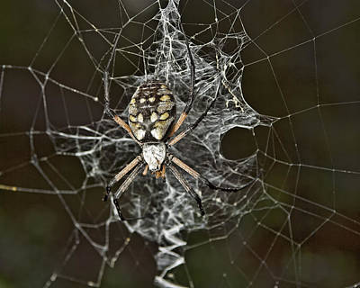 Photograph - Garden Spider by Gregory Scott
