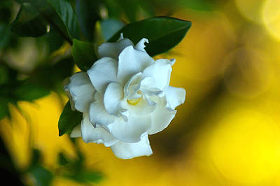 Art Print featuring the photograph Gardenia by Brian Wright