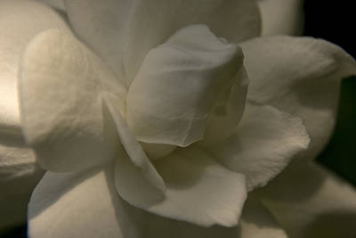 Photograph - Gardenia by Margaret Denny