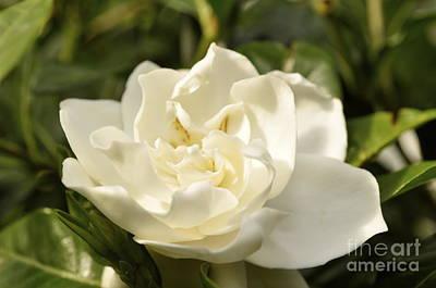 Gardenia  Original