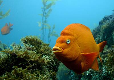 Anacapa Photograph - Gari Fish by Douglas Klug