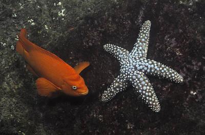 Garibaldi With Starfish Underwater Art Print by Flip Nicklin