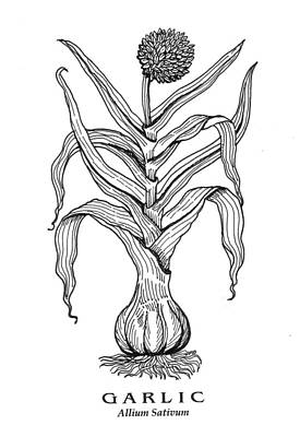Drawing - Garlic Botanical by David Burkart