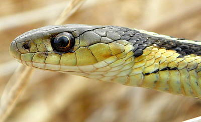 Photograph - Garter Snake Macro by Griffin Harris