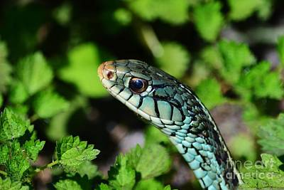 Photograph - Garter Snake Profile by Lynda Dawson-Youngclaus