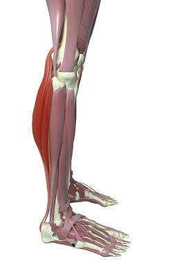 Gastrocnemius And Soleus Muscle Art Print by MedicalRF.com