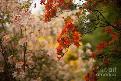 Rhodies Photograph - Gathering Of Radiance by Mike Reid