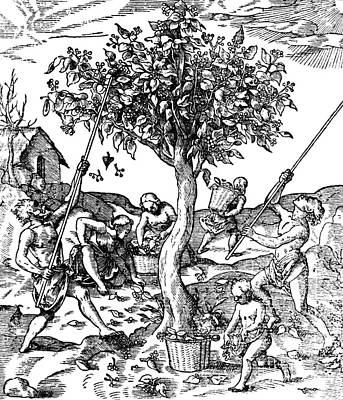 Gathering Pepper In India, 1579 Art Print by Science Source