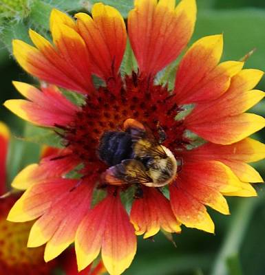 Photograph - Gathering Pollen by Bruce Bley