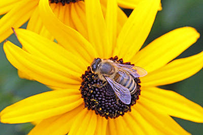 Becky Photograph - Gathering Pollen On A Sunny Day by Becky Lodes