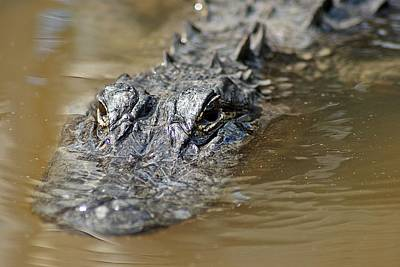 Photograph - Gator 3 by Joe Faherty