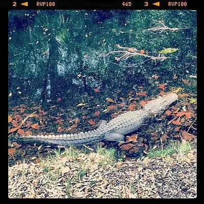 Reptiles Wall Art - Photograph - Gator Ate My Golf Ball #golf #gator by The Fun Enthusiast