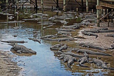 Photograph - Gator Gathering by Terri Mills