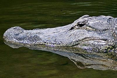 Photograph - Gator5 by Joe Faherty