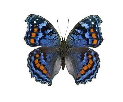 Gaudy Commodore Butterfly Print by Lawrence Lawry