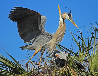 Great Blue Heron Courtship Display Art Print by Larry Nieland