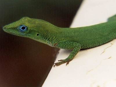 Photograph - Gecko by Mary-Lee Sanders