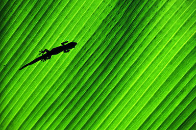 Gecko Silhouette Art Print