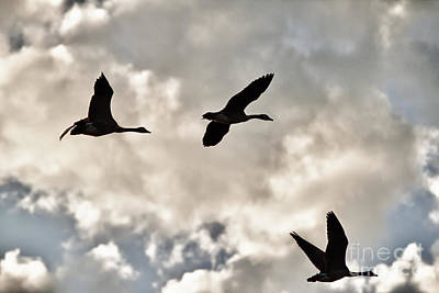 Geese Against The Sky Art Print by Christopher Purcell