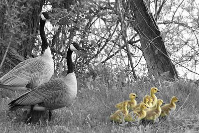 Photograph - Geese And Goslings In Select Color by Mark J Seefeldt