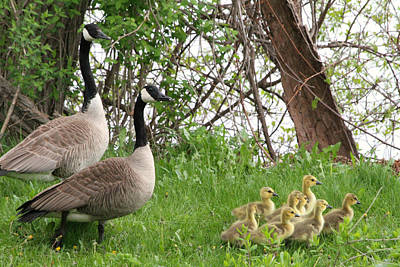 Photograph - Geese And Goslings by Mark J Seefeldt