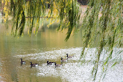 Geese In Central Park Art Print by Stacy Gold