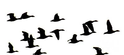 Abstract Photograph - Geese In Flight Silhouette by Rrrose Pix