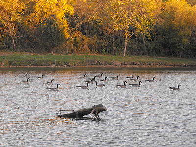 Photograph - Geese by Michelle Jacobs-anderson