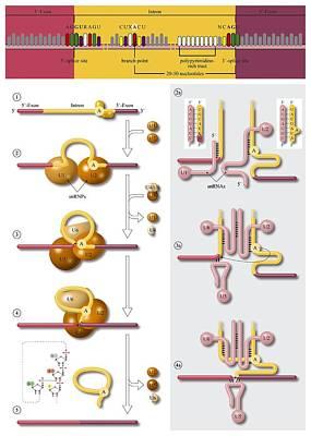Gene Splicing, Diagram Art Print by Art For Science