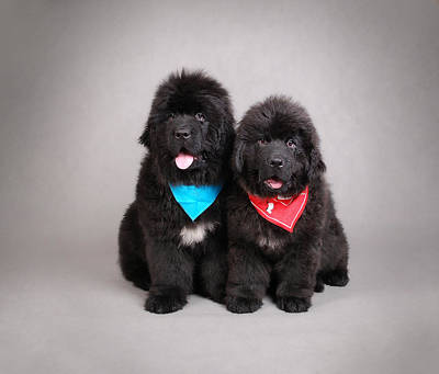 Newfoundland Puppy Photograph - General And Garibaldi by Waldek Dabrowski