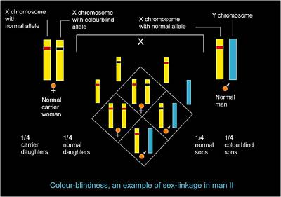 Genetics Of Colour Blindness, Diagram Art Print by Francis Leroy, Biocosmos