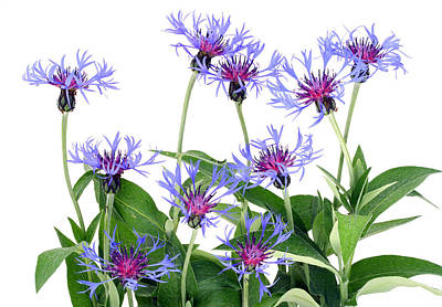 Art Print featuring the photograph Gentle Blue Cornflowers by Aleksandr Volkov