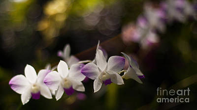 Plumeria Photograph - Gentle Light by Mike Reid