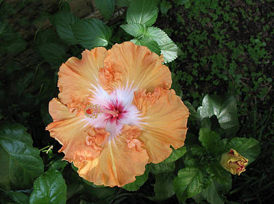 Photograph - Gentle Orange Hibiscus by Connie Fox
