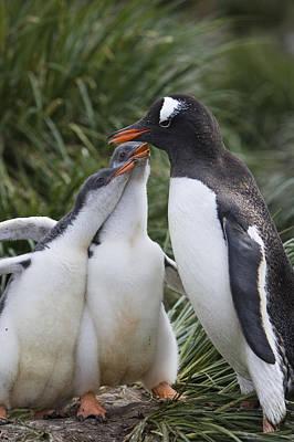 Gentoo Penguin Parent And Two Chicks Art Print by Suzi Eszterhas
