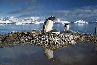 Wildlife Disasters Photograph - Gentoo Penguin Pygoscelis Papua Parent by Gerry Ellis