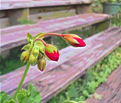 Geranium Flower Buds By Steps Art Print by Padre Art